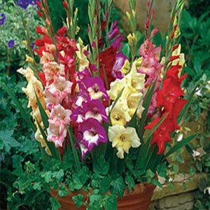 gladiole de ghiveci